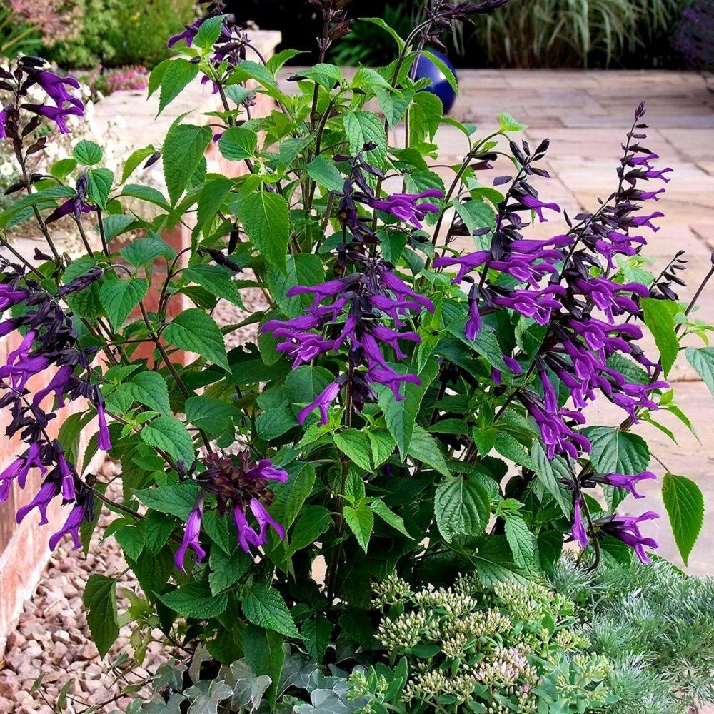 amistad salvia live blooming perennial plant velvet purple blooms - Common Purple Garden Flowers