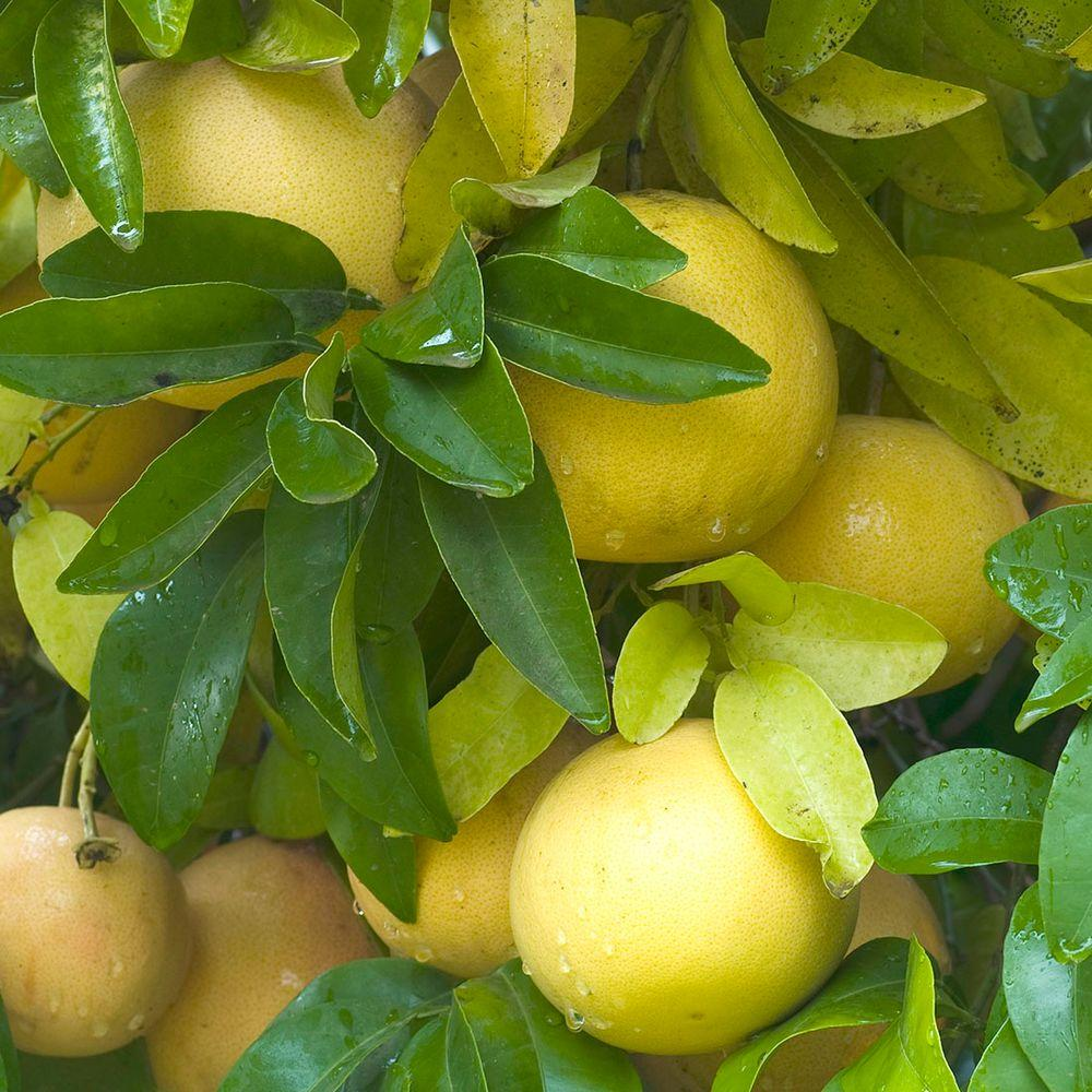 Bloomsz 32 in. Tall 1 Year Old White Citrus Marsh Grapefruit