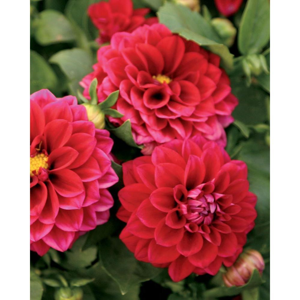 Dalina Midi Mariana (Dahlia) Live Plant, Pink-Red Flowers, 4.25 in. Grande