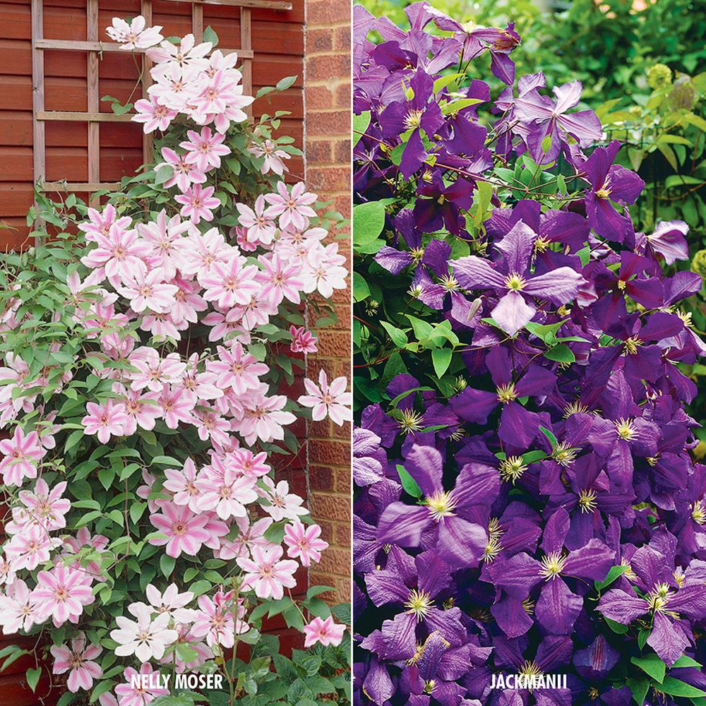 Van Zyverden Clematis Collection 2 Varieties (Set of 2 Plants) Clematis vines are priced for their incredible flowers. Known as the Queen of the Climbers, clematis plants will train onto trellises and fences, or arch gracefully over doorways. They are stunning when used alone, creating major focal impact. Nelly Moser has creamy-pink flowers, with a bright pink stripe down each and every petal. It blooms early summer and again later in the summer. Clematis is an excellent choice for the home garden landscape. This Clematis Collection packs bold color into this mixture, consisting of the following varieties: Nelly Moser and Jackmanii. 1-root of each variety that is individually packaged and labeled.