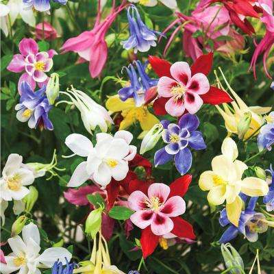 Columbine (Aquilegia) Mixture Live Bareroot Perennial Plants Multi-Colored Flowers (3-Pack)