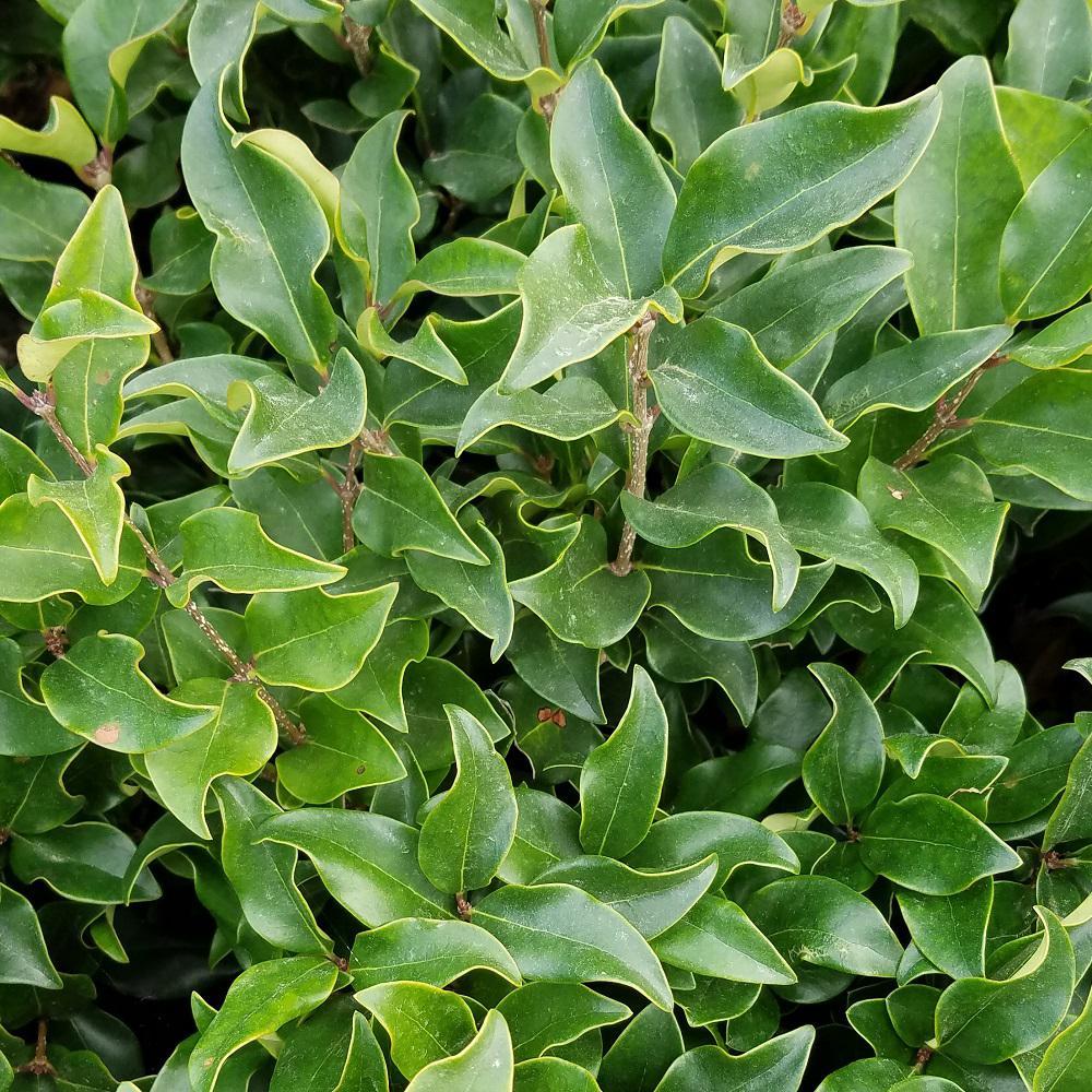 9.25 in. Pot - Curly Leaf Ligustrum Recurvifolia, Evergreen Shrub, Creamy-white Flowers