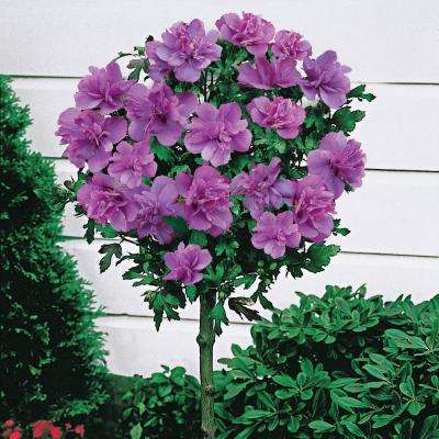 Ardens Althea Hibiscus Tree Live Bare Root Plant with Blue Flowering Tree form Shrub (1-Pack)
