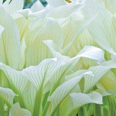 Filigree Hosta Live Bareroot Plant White To Green Foliage Perennial 1 Pack