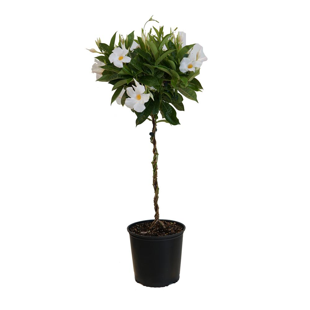 2 Gal. White Mandevilla Topiary Plant in 9.25 in. Grower Pot