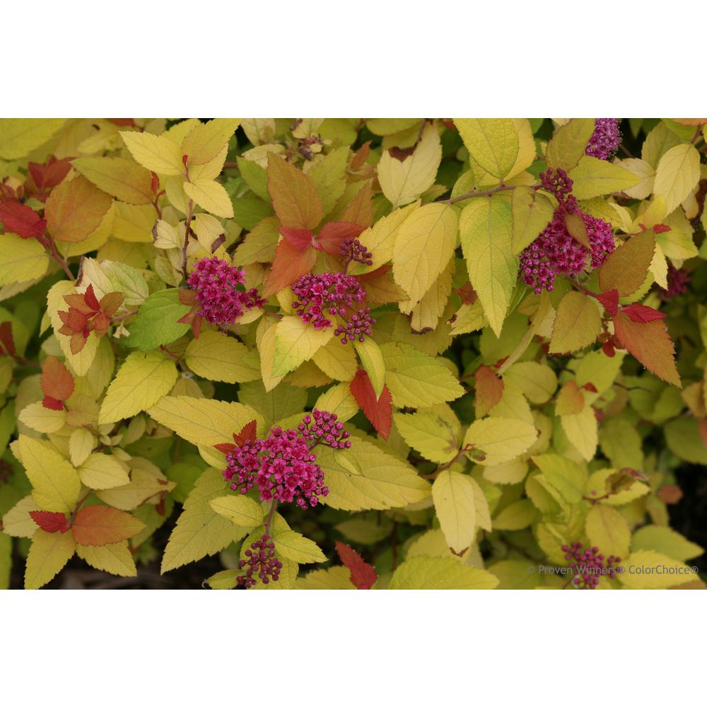 Proven Winners Double Play Candy Corn Spirea Spiraea Live Shrub