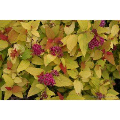 Double Play Candy Corn Spirea (Spiraea), Live Shrub, Purple Flowers and Orange, Red, and Yellow Foliage, 4.5 in. Qt.
