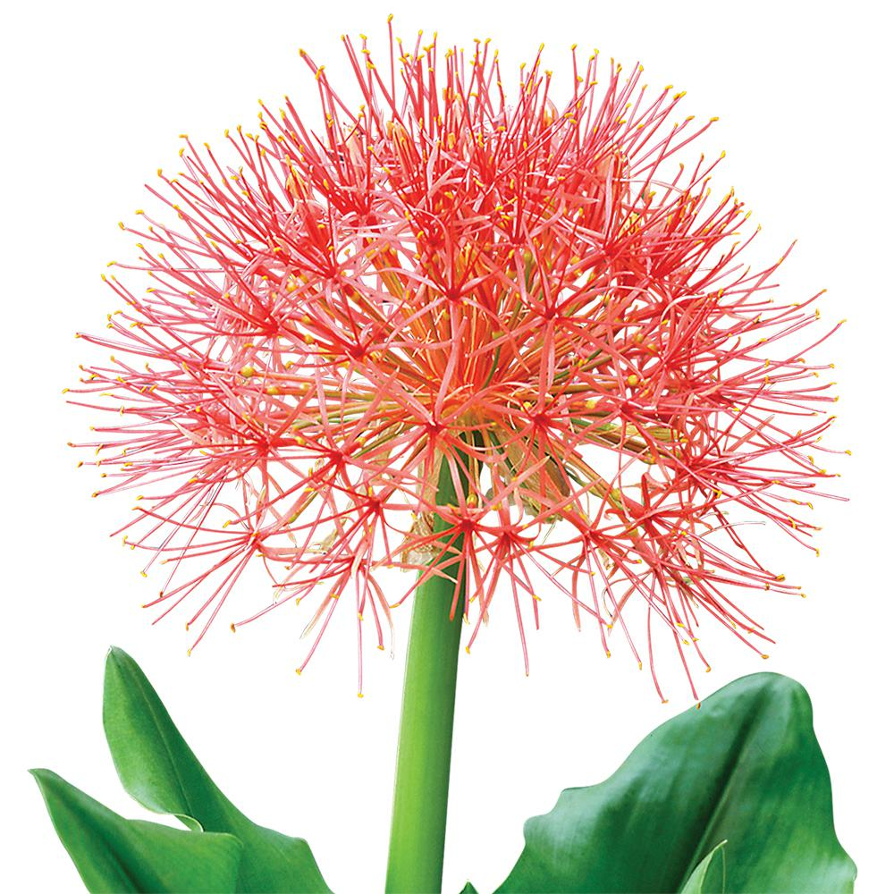 Brecks Blood Lily Pincushion Flower Bulb 67730 The Home Depot