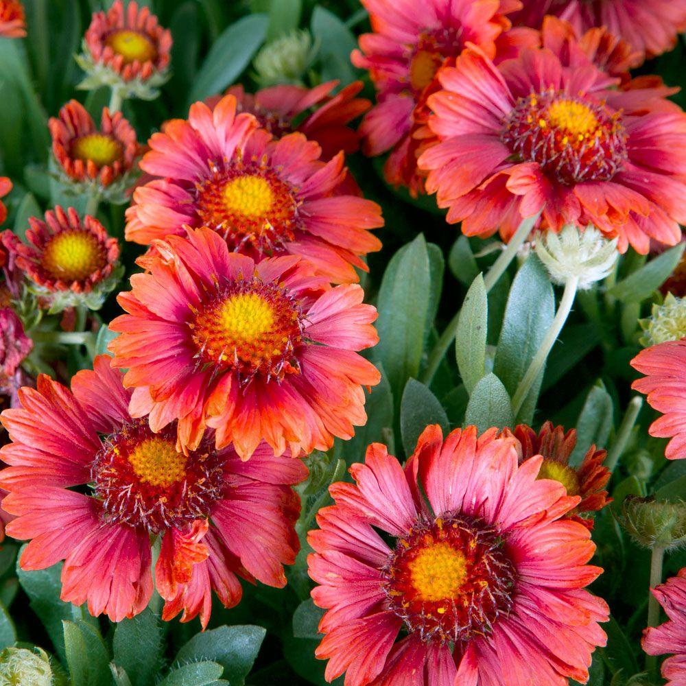 Gaillardia Perennials Garden Plants Flowers The Home Depot