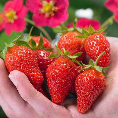 3 in. Toscana Strawberry Pot (Fragaria), Live Potted Fruit Plant (1-Pack)