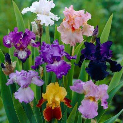 Iris Germanica Bulbs Breeder's Choice Mixture (Set of 7 Roots)