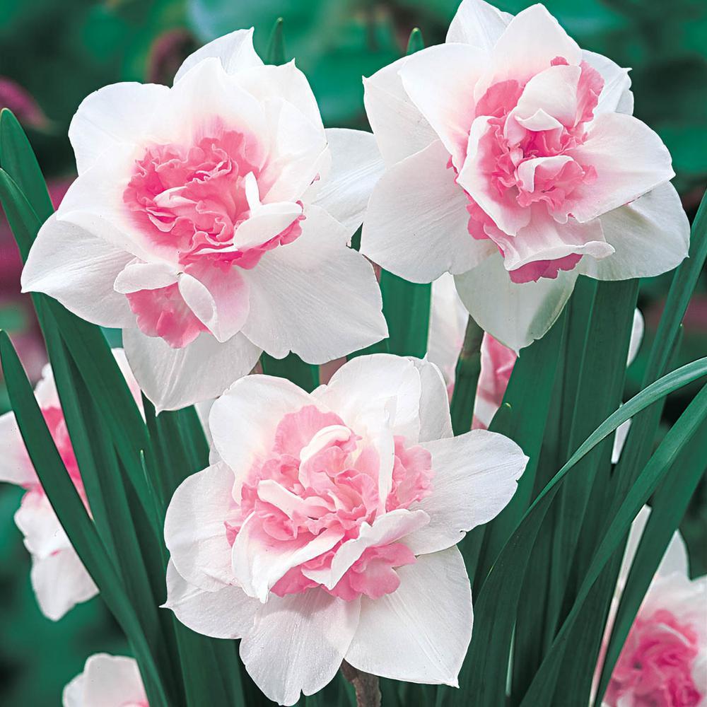 Van Bourgondien Replete Double Daffodil Bulbs 25-Pack