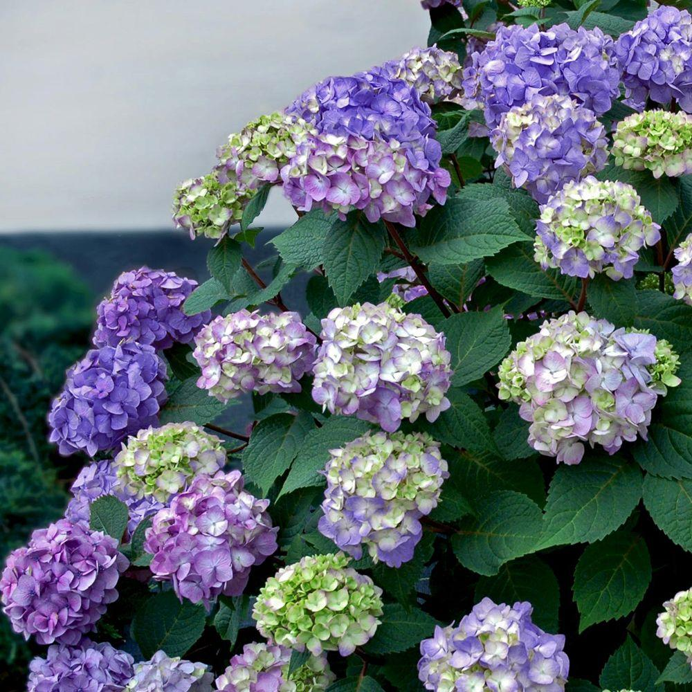 Bloomstruck Hydrangea Macrophylla Live Deciduous Shrub Pink Or Blue Purple Blooms
