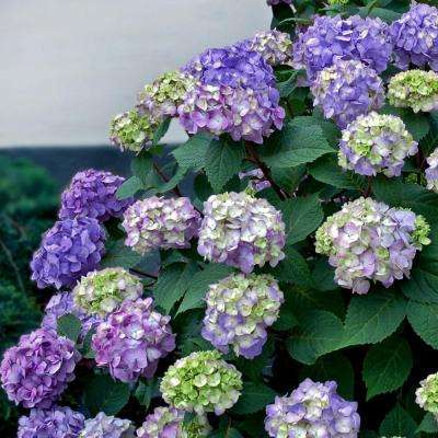 3 Gal. BloomStruck Hydrangea(Macrophylla) Live Deciduous Shrub, Pink or Blue or Purple Blooms