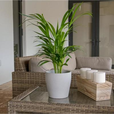 Areca Palm in 6 in. Grower Pot