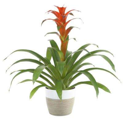 Bromeliad Grower's Choice Colors in 6 in. Decor Pot