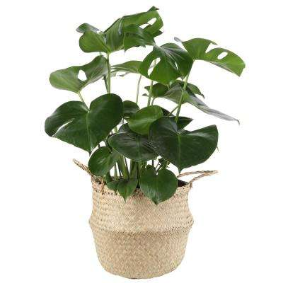 Monstera Deliciosa Swiss Cheese Plant in 9.25 in. Seagrass Basket