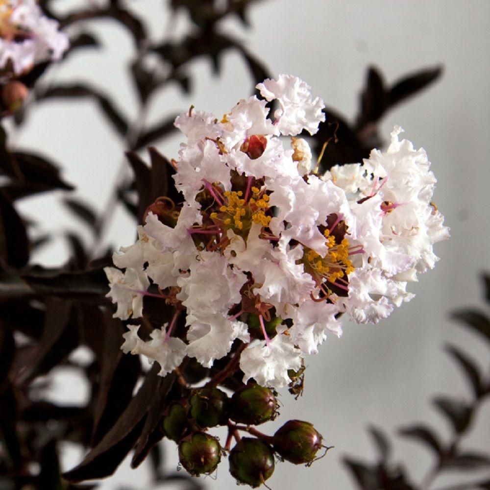 Southern Living Plant Collection 2 Gal Delta Moonlight Crapemyrtle