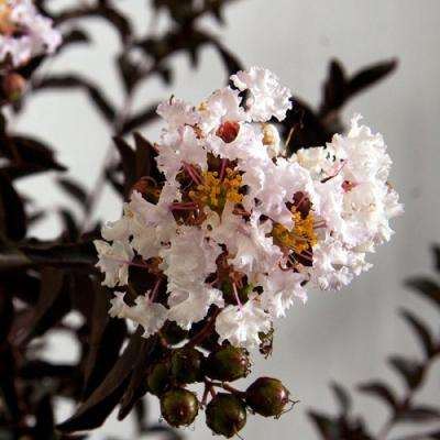 2 Gal. Delta Moonlight Crapemyrtle, Live Deciduous Shrub/Tree, Burgundy Foliage , White Blooming
