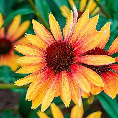 3 in. Pot Evening Glow Coneflower (Echinacea) Live Perennial Plant Apricot-Red Flowers (1-Pack)
