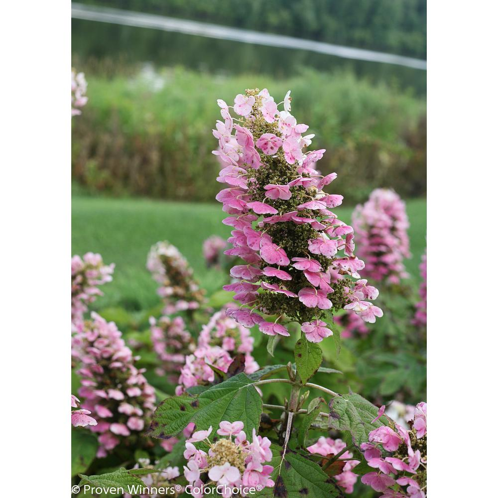 Gatsby Pink Oakleaf Hydrangea (Quercifolia) Live Shrub, White to Pink Flowers,