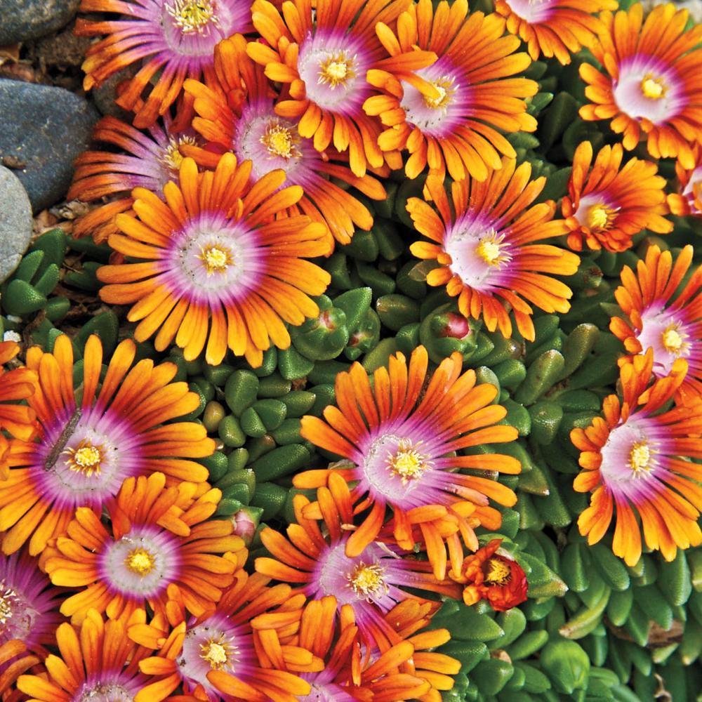 Spring Hill Nurseries 2 In Pot Orange And Purple Flower