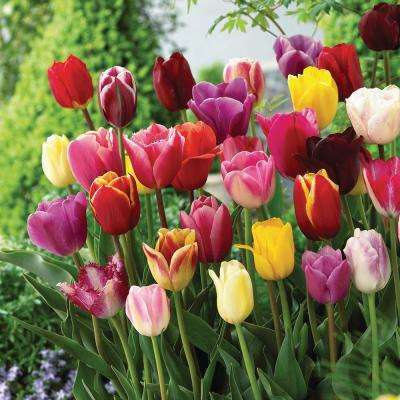 Tulip Vibrant Color Mix Bulbs (50-Count/Pack)