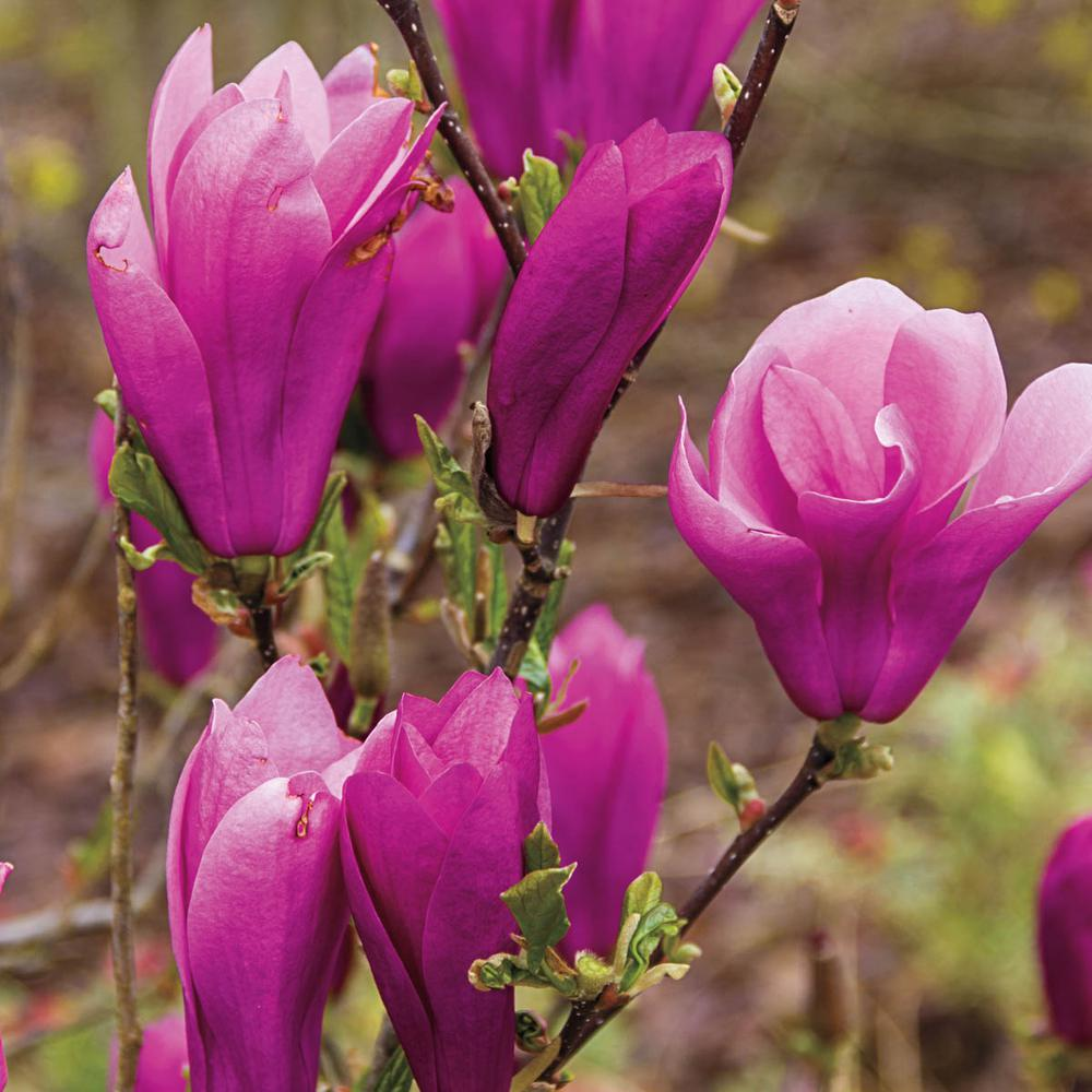 Spring Hill Nurseries Jane Magnolia Live Bareroot Tree With Pink