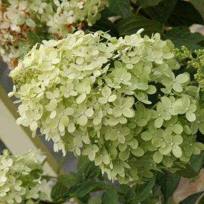 4 in. Pot Proven Winners Limelight Hydrangea Live Potted Shrub with White Flowers