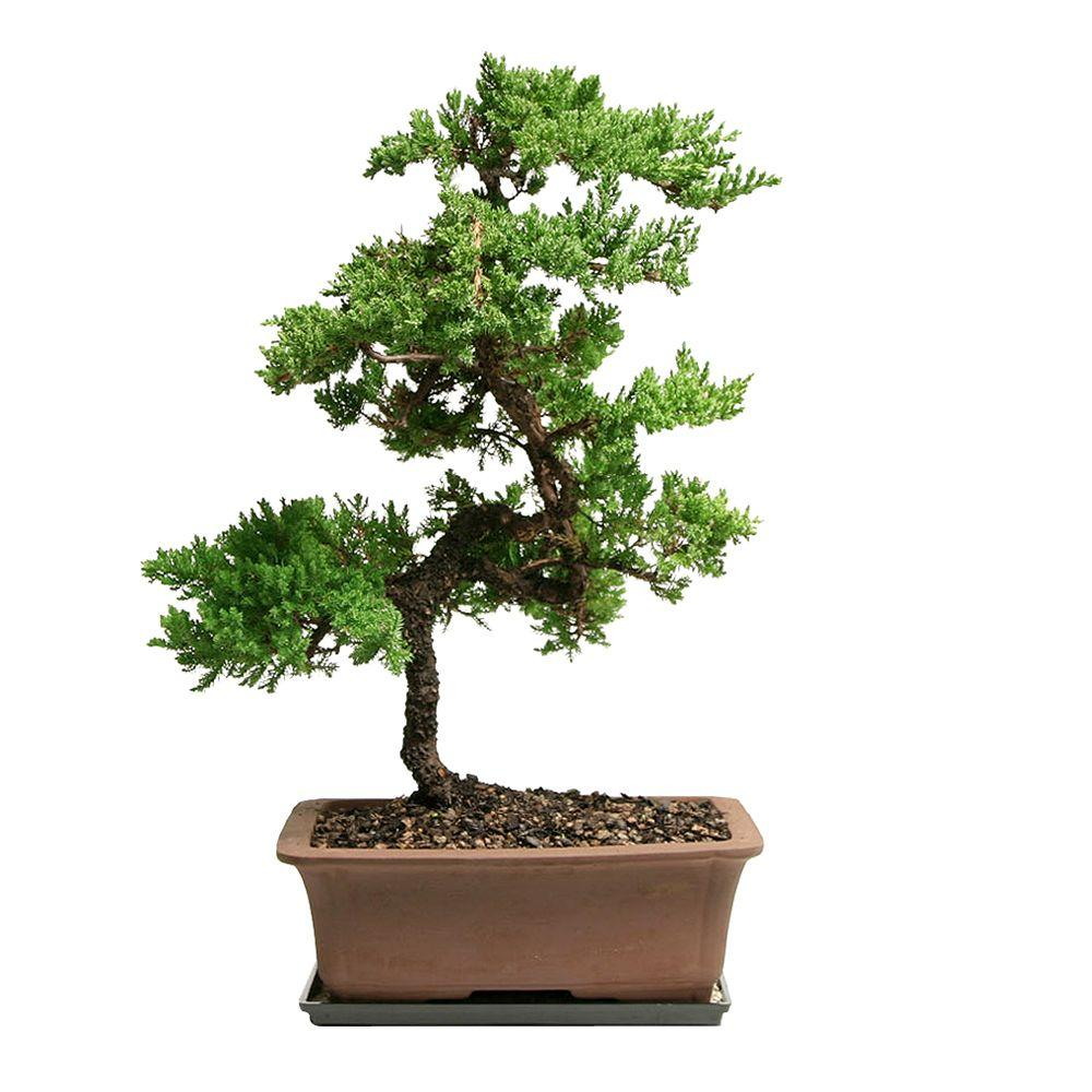 Brussel S Bonsai Outdoor Green Mound Juniper Dt 0110gmj The Home Depot