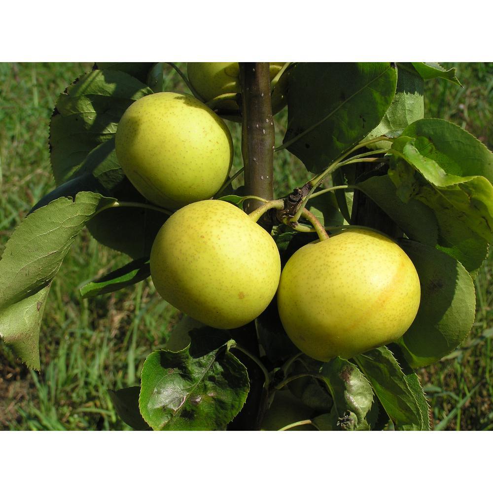 Dwarf Nijisseiki Asian Pear Bare Root