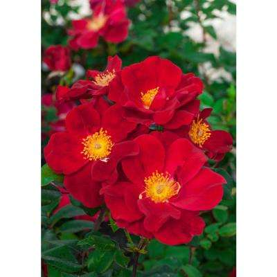 Top Gun Rose Live Bareroot Plant with Red Flowering Shrub (1-Pack)