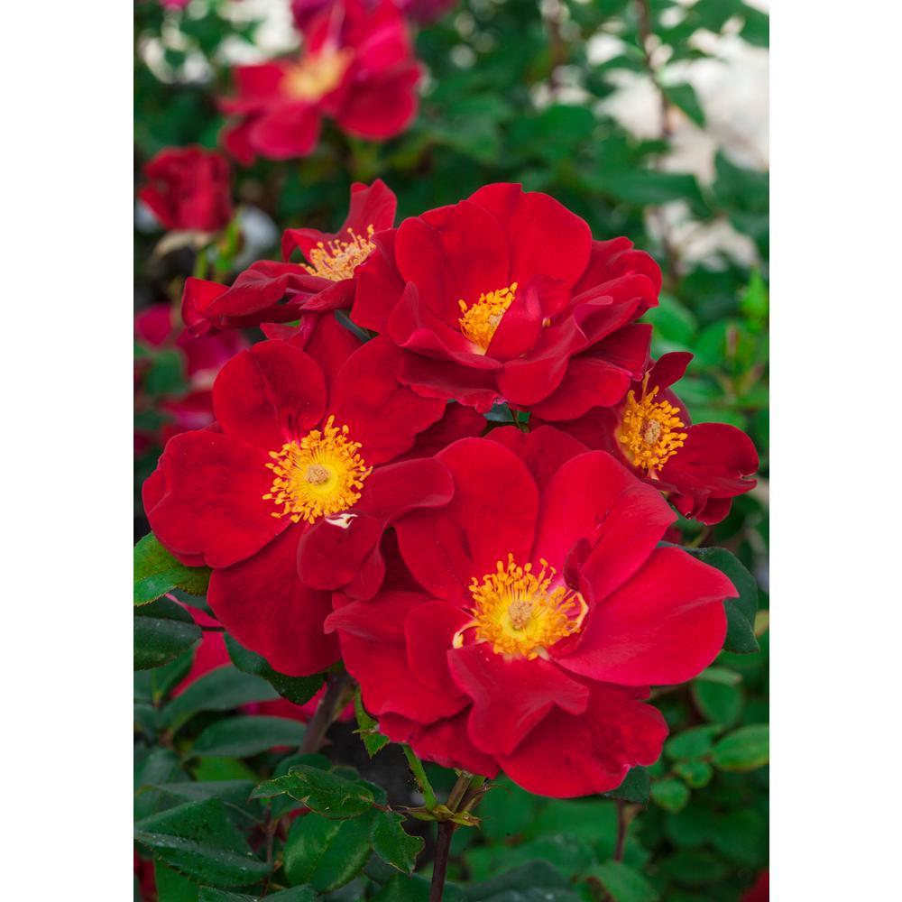 Top Gun Rose, Live Jumbo Bareroot Plant with Red Flowering Shrub Rose (1-Pack)