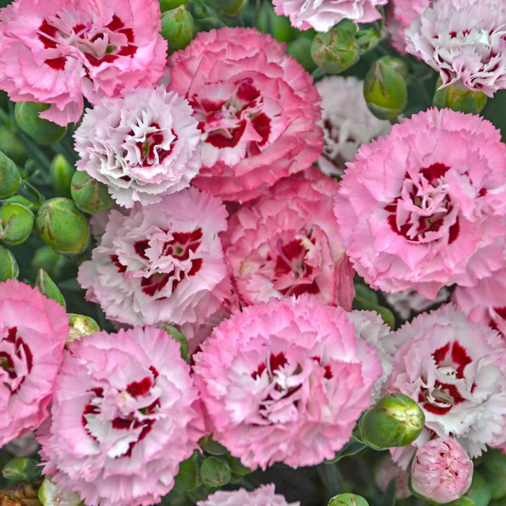 Spring Hill Nurseries 2 in. Pot Appleblossom Burst Dianthus Live Deciduous Plant Pink and White Flowering Perennial (1-Pack)