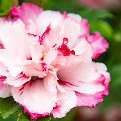 4 in. Pot Danica Althea Hibiscus Live Potted Plant with Pink Flowers (1-Pack)