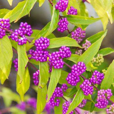 4 in. Pot Early Amethyst Beautyberry (Callicarpa), Live Deciduous Shrub with Pink flowers to Purple Berries (1-Pack)