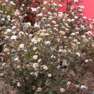 1 Gal. Proven Winners Summer Wine Ninebark, Live Deciduous Plant, White/Pink Flowers with Burgundy Foliage (1-Pack)