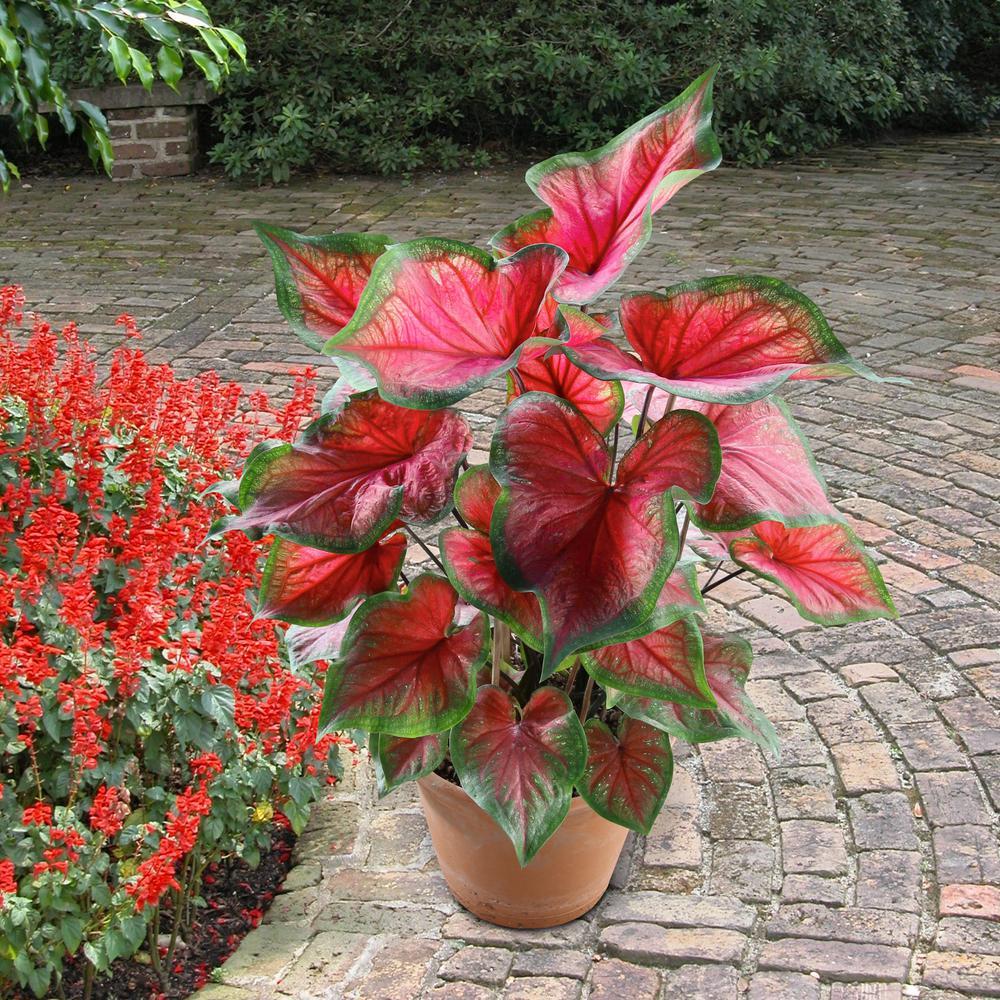 4 in. Florida Sweetheart  Pink Caladium Plant (4-Piece)