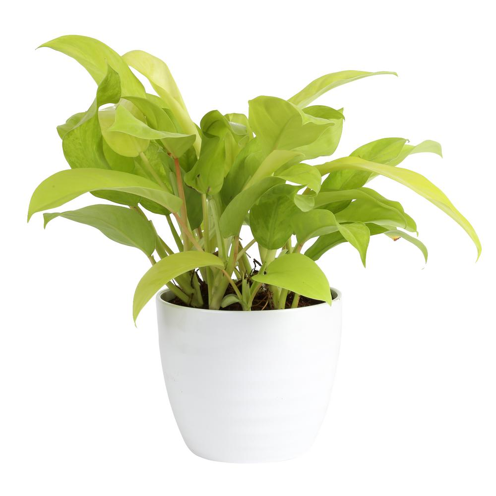 Costa Farms Trending Tropicals Golden Goddess Philodendron Plant in 6 in. Ceramic Pot