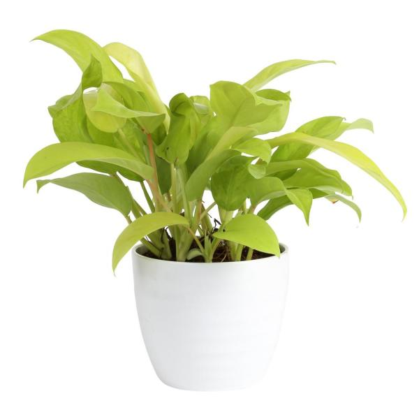 Trending Tropicals Golden Goddess Philodendron Plant in 6 in. Ceramic Pot