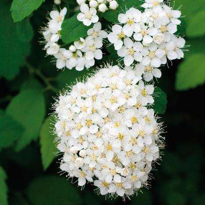 Spiraea Van Houttei Root Stock (1-Set)
