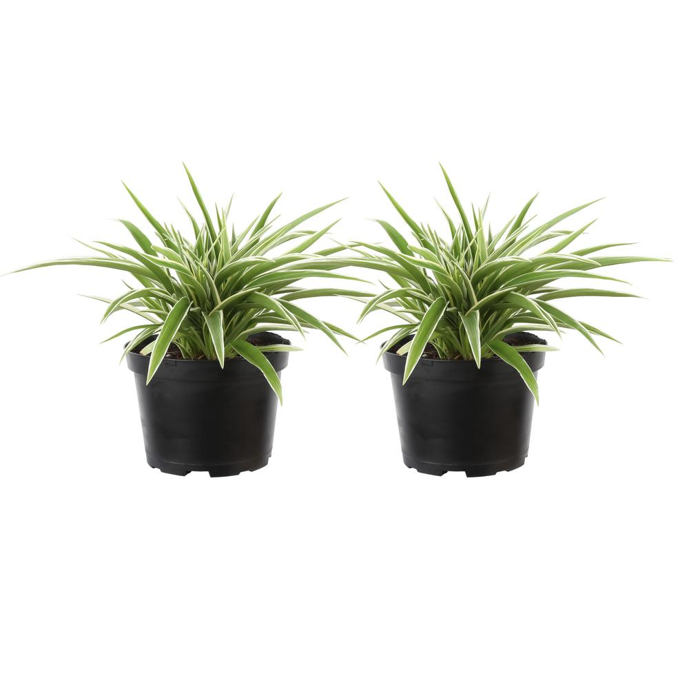 Costa Farms Chlorophytum Comosum Spider Live Indoor Plant In Grower S Pot 2 Pack 6spidergp2pk The Home Depot