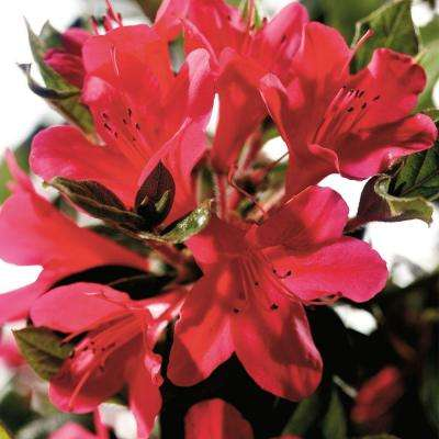 3 Gal. Autumn Ruby - Re-Blooming Compact Evergreen Shrub with Petite Red Blooms