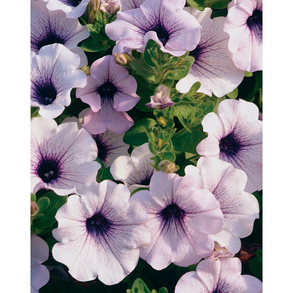 Proven Winners Supertunia Mini Blue Veined Petunia Live Plant