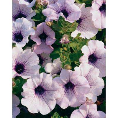 Petunia annuals garden plants flowers the home depot supertunia mini blue veined petunia live plant white flowers with purple veins 425 in mightylinksfo