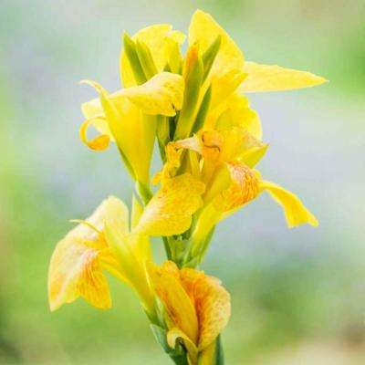 Yellow Flowers Cannova Canna Lily Bulbs