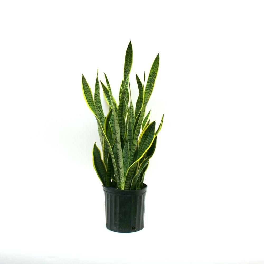 delray plants sansevieria laurentii in in grower pot 10sansl the home depot. Black Bedroom Furniture Sets. Home Design Ideas