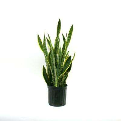 Sansevieria Laurentii in 8-3/4 in. Pot