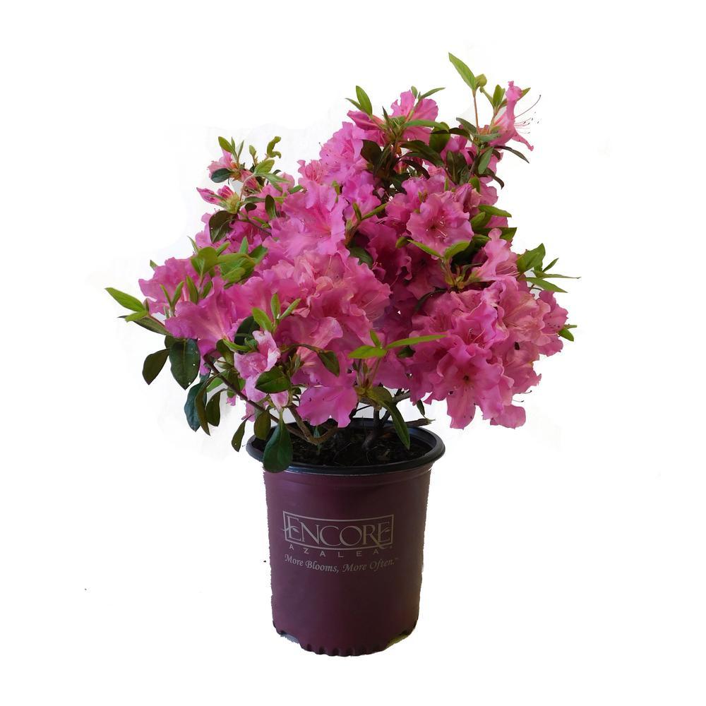 1 gal. Autumn Royalty Encore Azalea Shrub with Pink Flowers