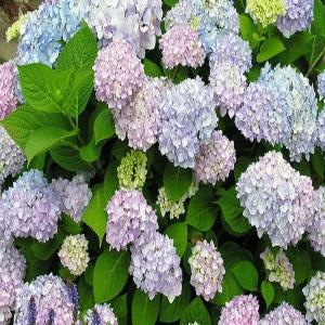 3 Gal. Endless Summer Hydrangea Shrub